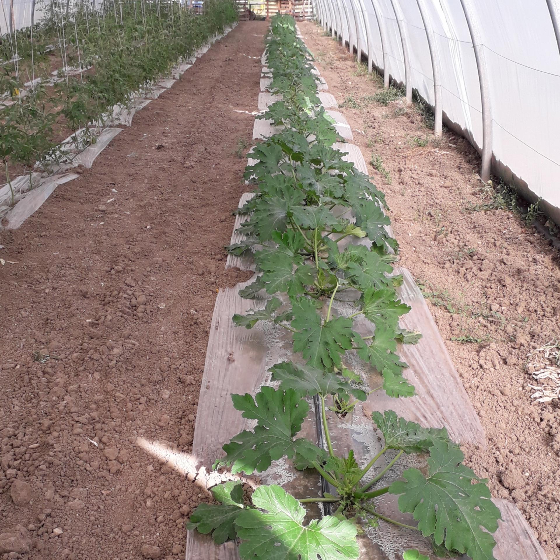Courgettes longues vertes - 1 Kg